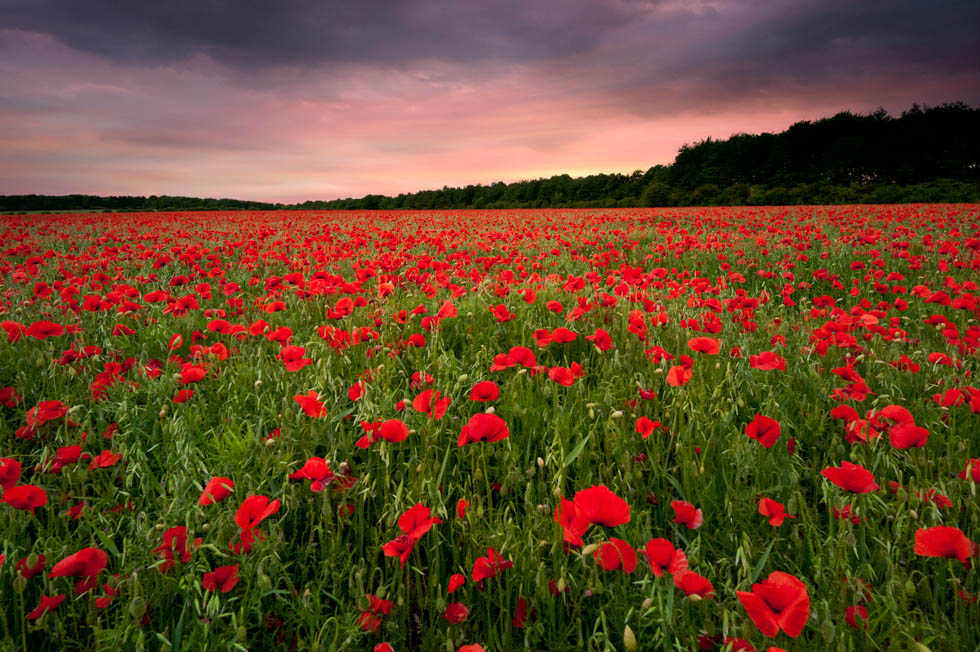 Poppy Fields after Sunset